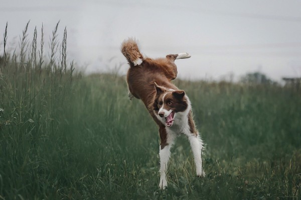 border-collie-4441585_1920